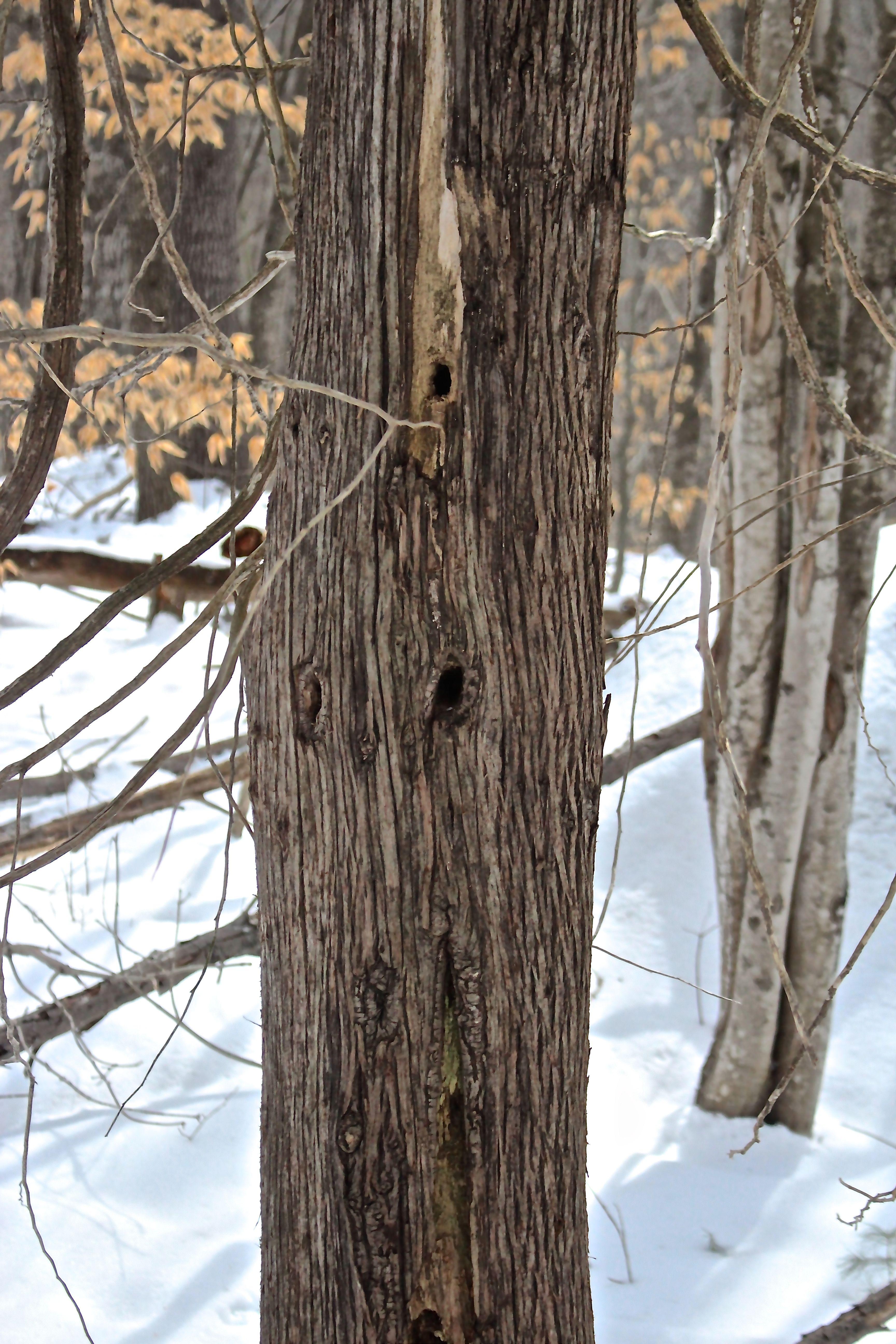 a-northern white cedar