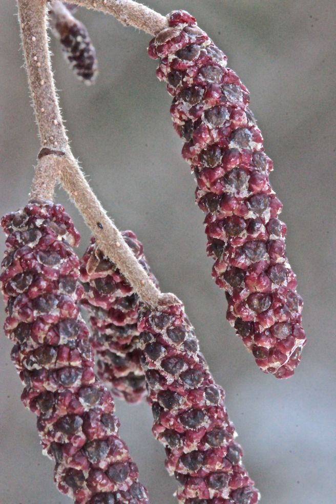 a-speckled catkins 2
