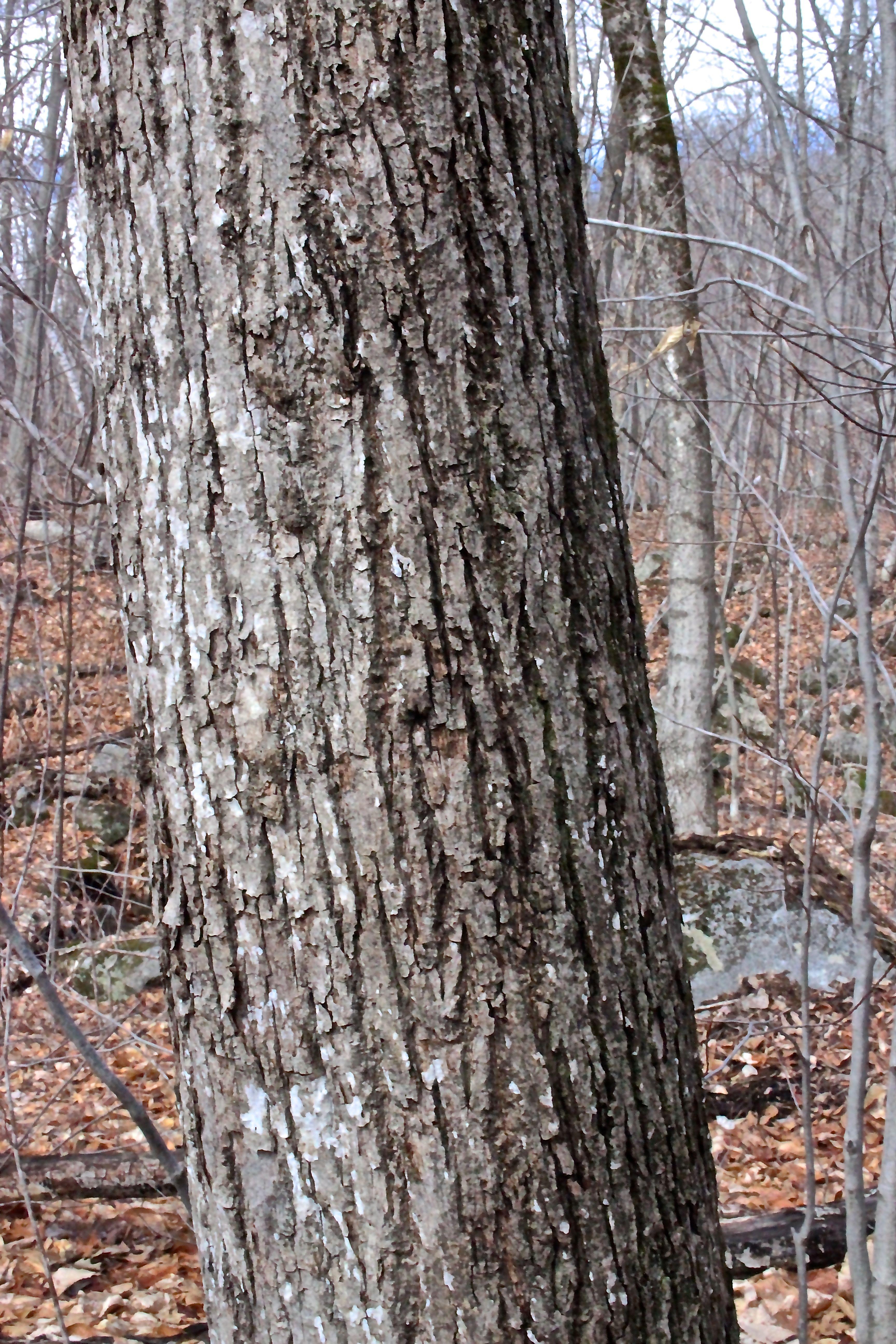 b-basswood bark