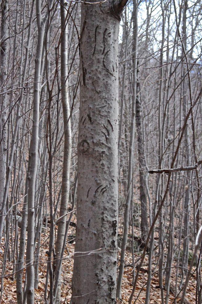 b-bear tree