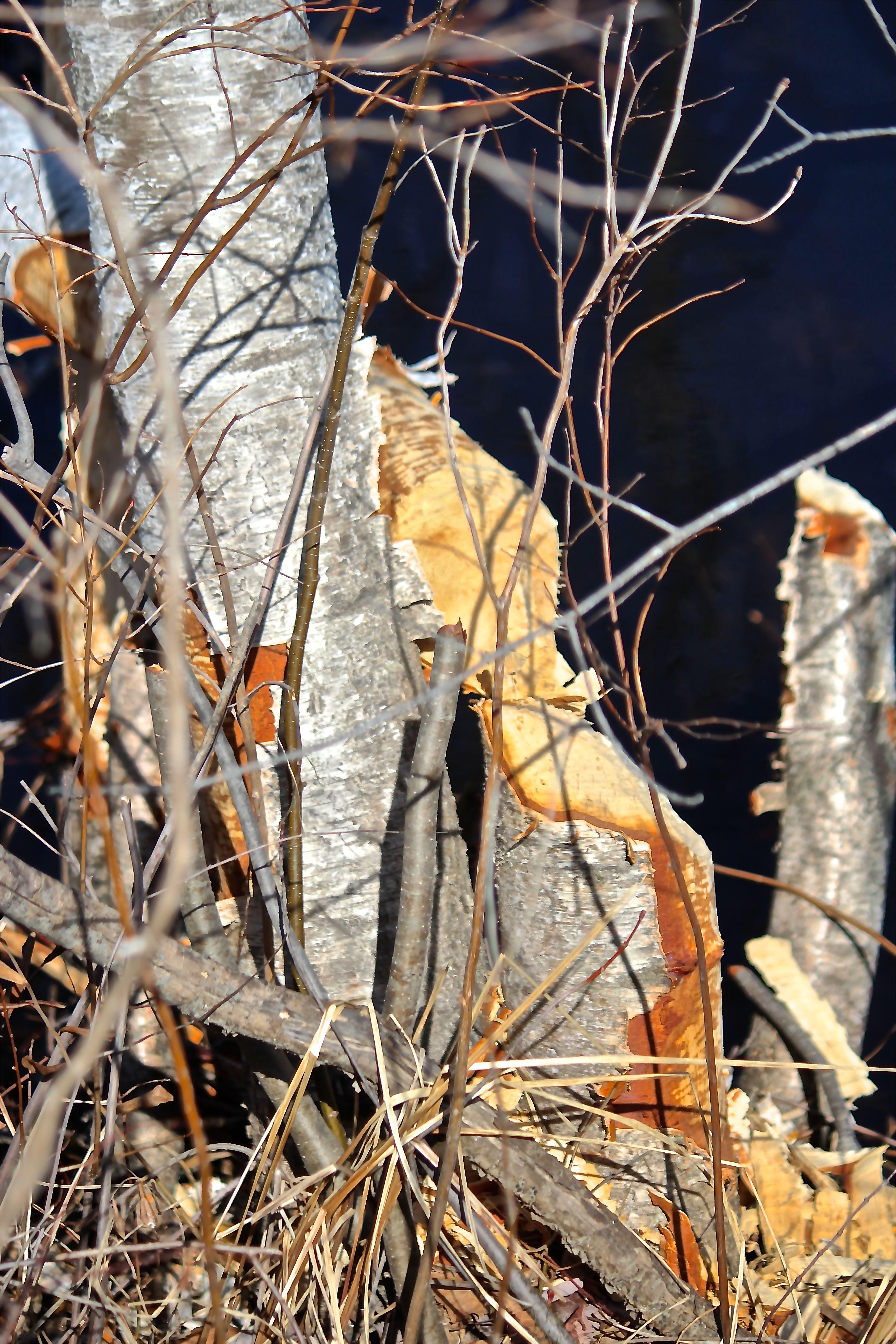 b-beaver tree