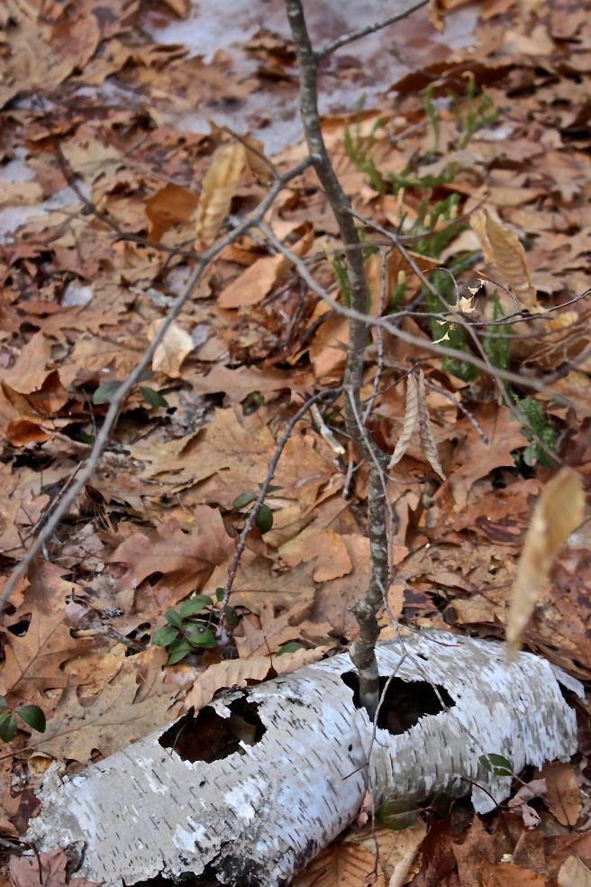 b-beech growing through paper birch bark