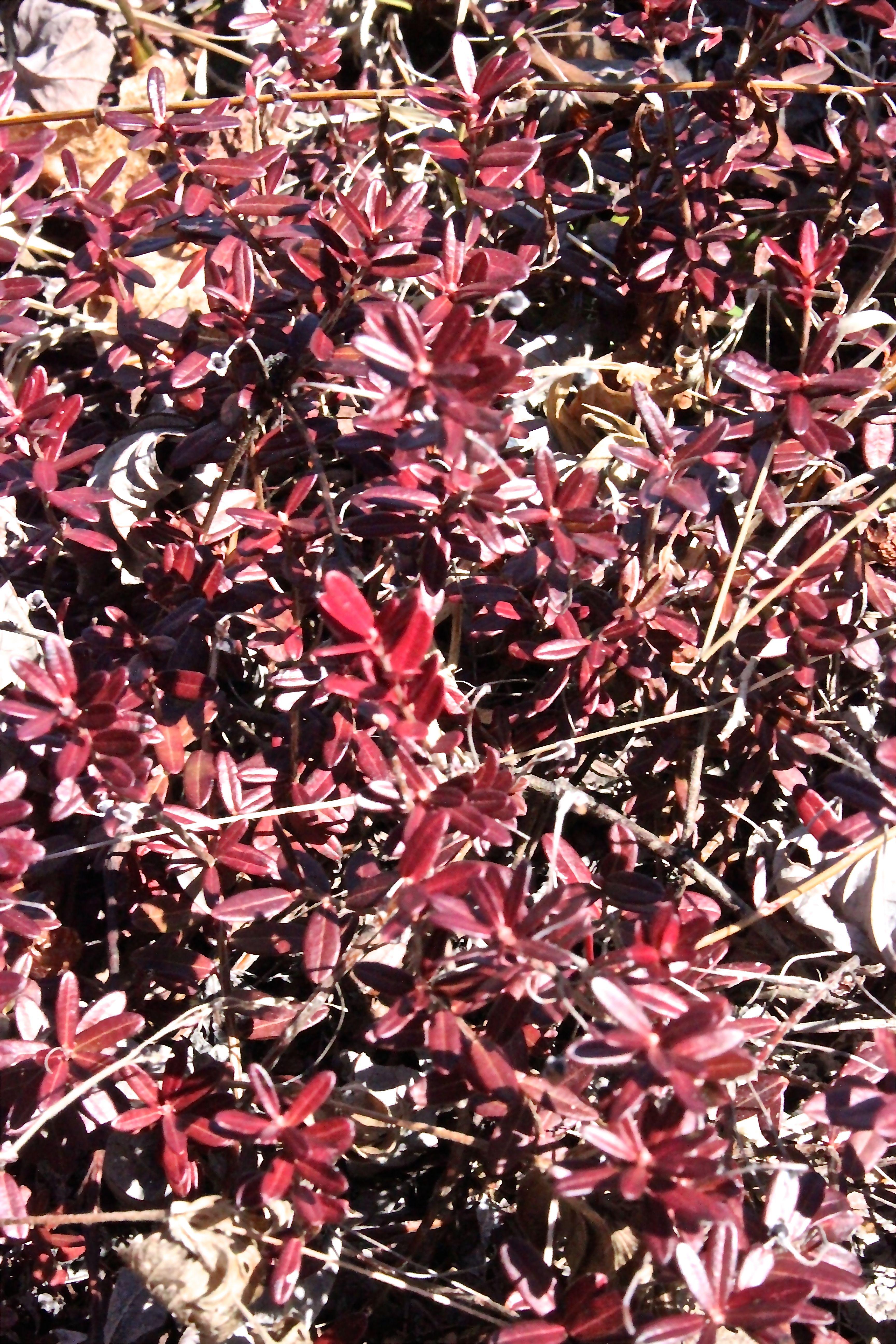 b-cranberry