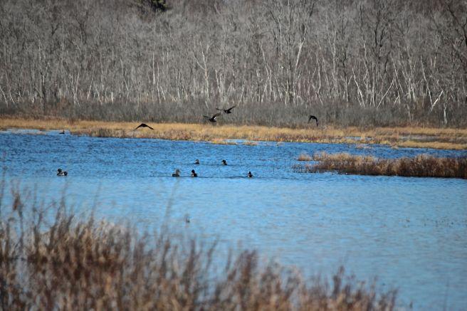 b-ducks 1