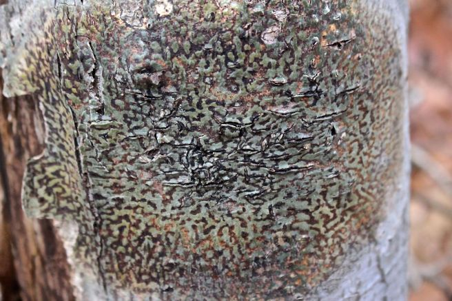 b-lichen on tree