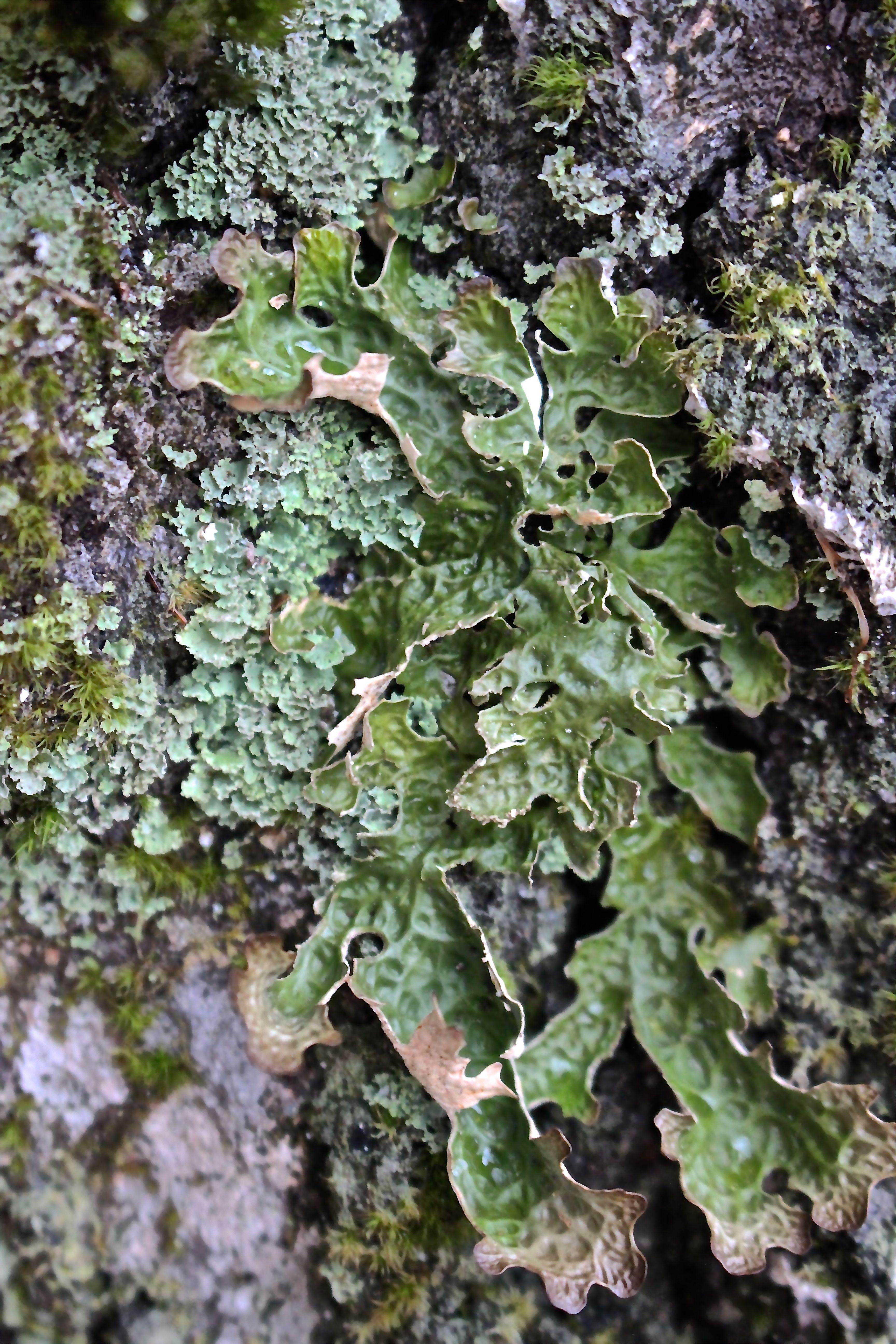 b-lungwort, lichens