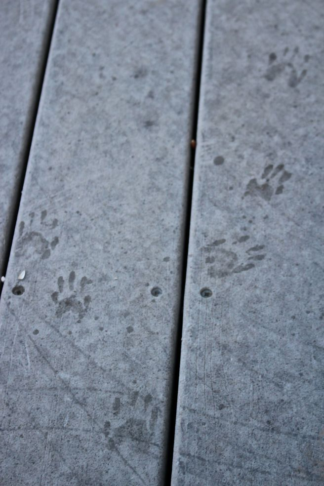 b-raccoon tracks