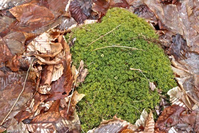 b-rose moss 1
