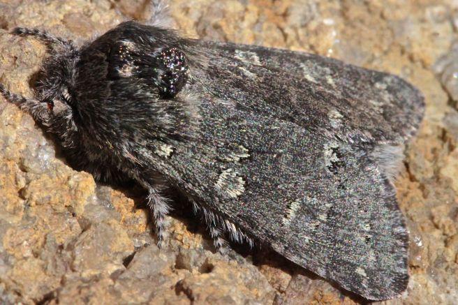 h-amos, owlet moth