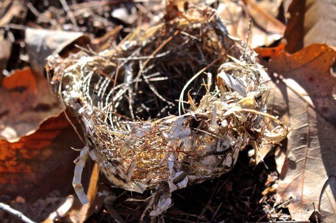 h-vireo nest