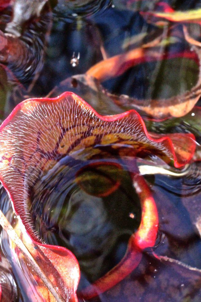 h11-pitcher plant2