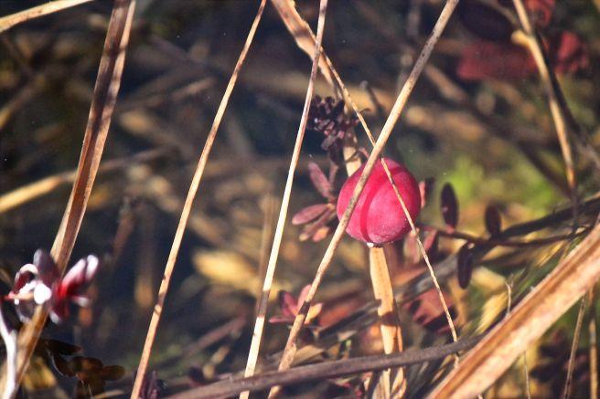 h14-cranberry