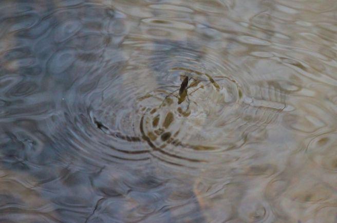 h15a-water strider