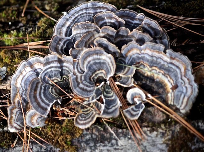 h17-turkey tail1