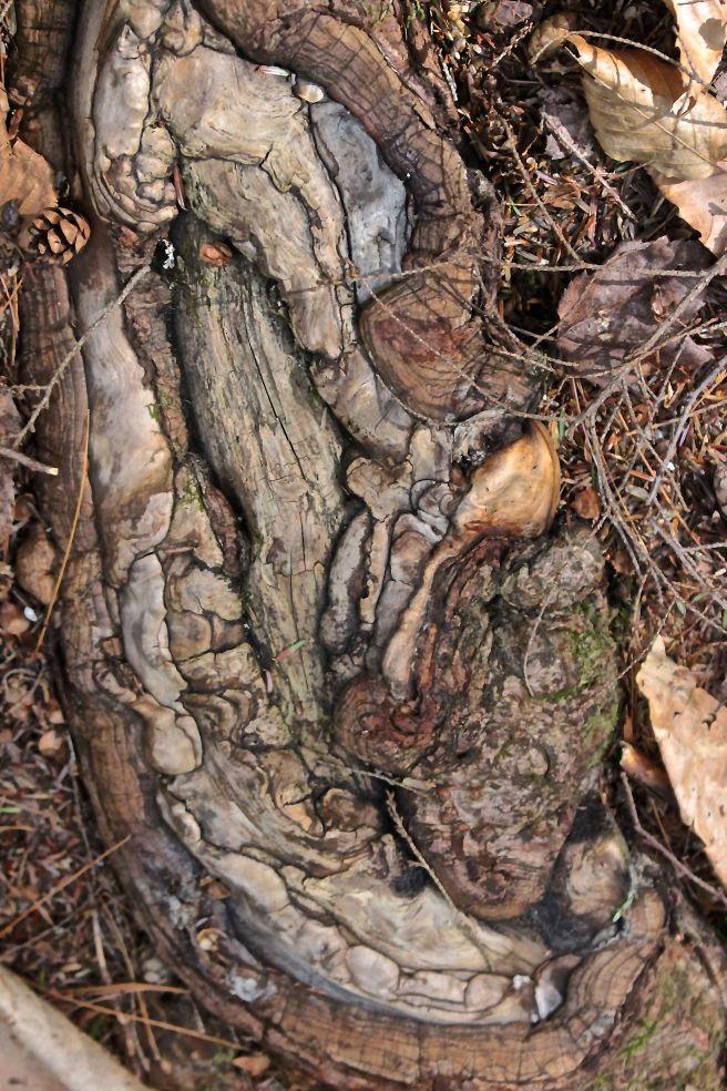 h18-hemlock root