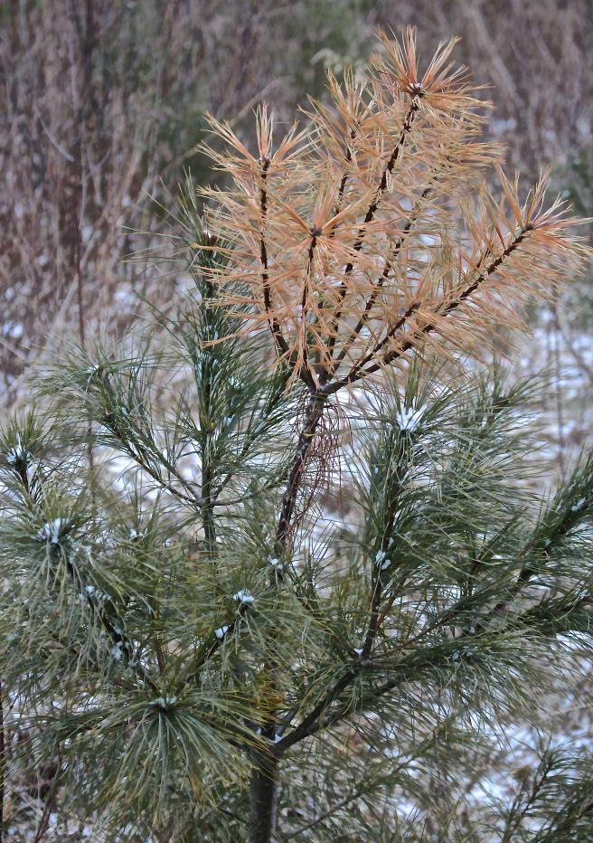 l-pine weevil