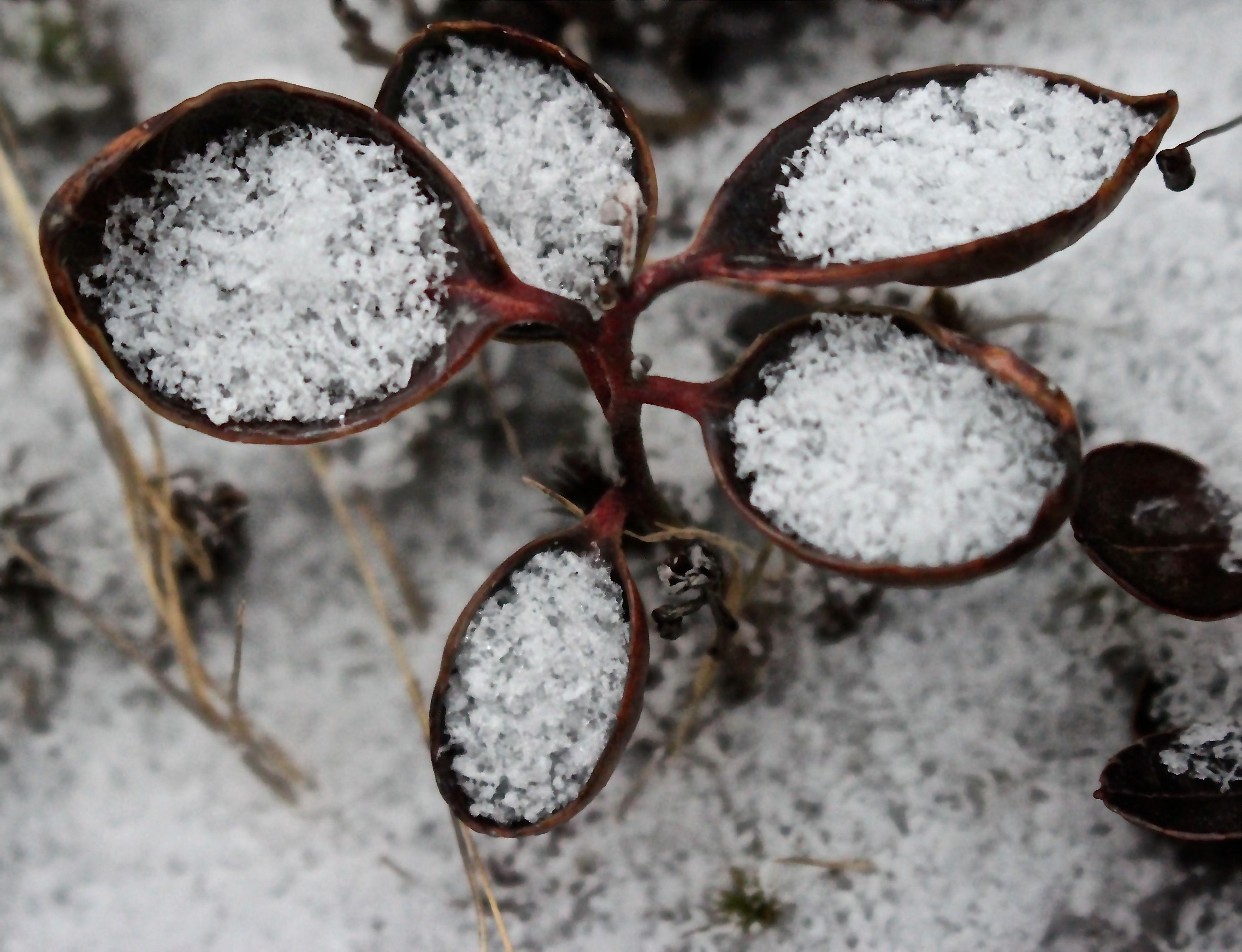 l-wintergreen