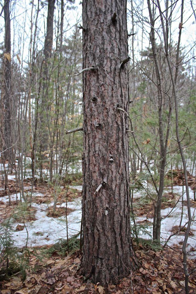 N-red pine