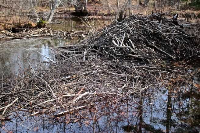 s-beaver lodge and dams