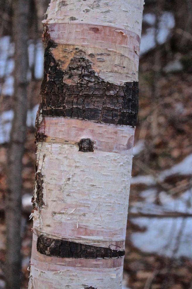 s-birch bark 1