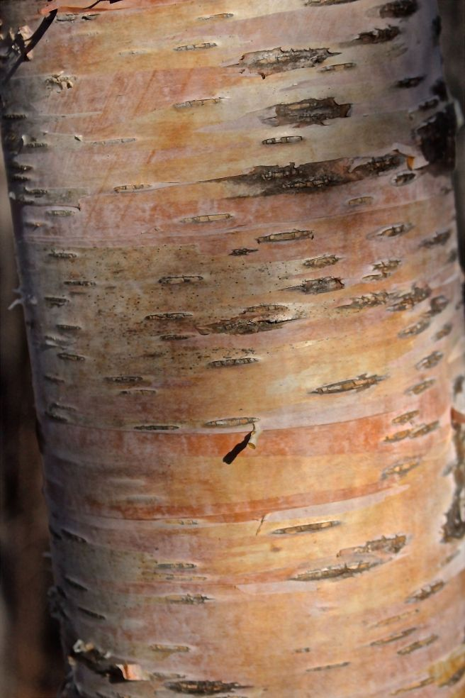 s-birch bark color