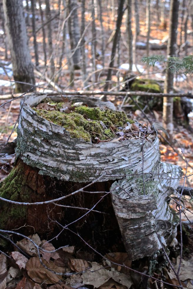 s-birch planter
