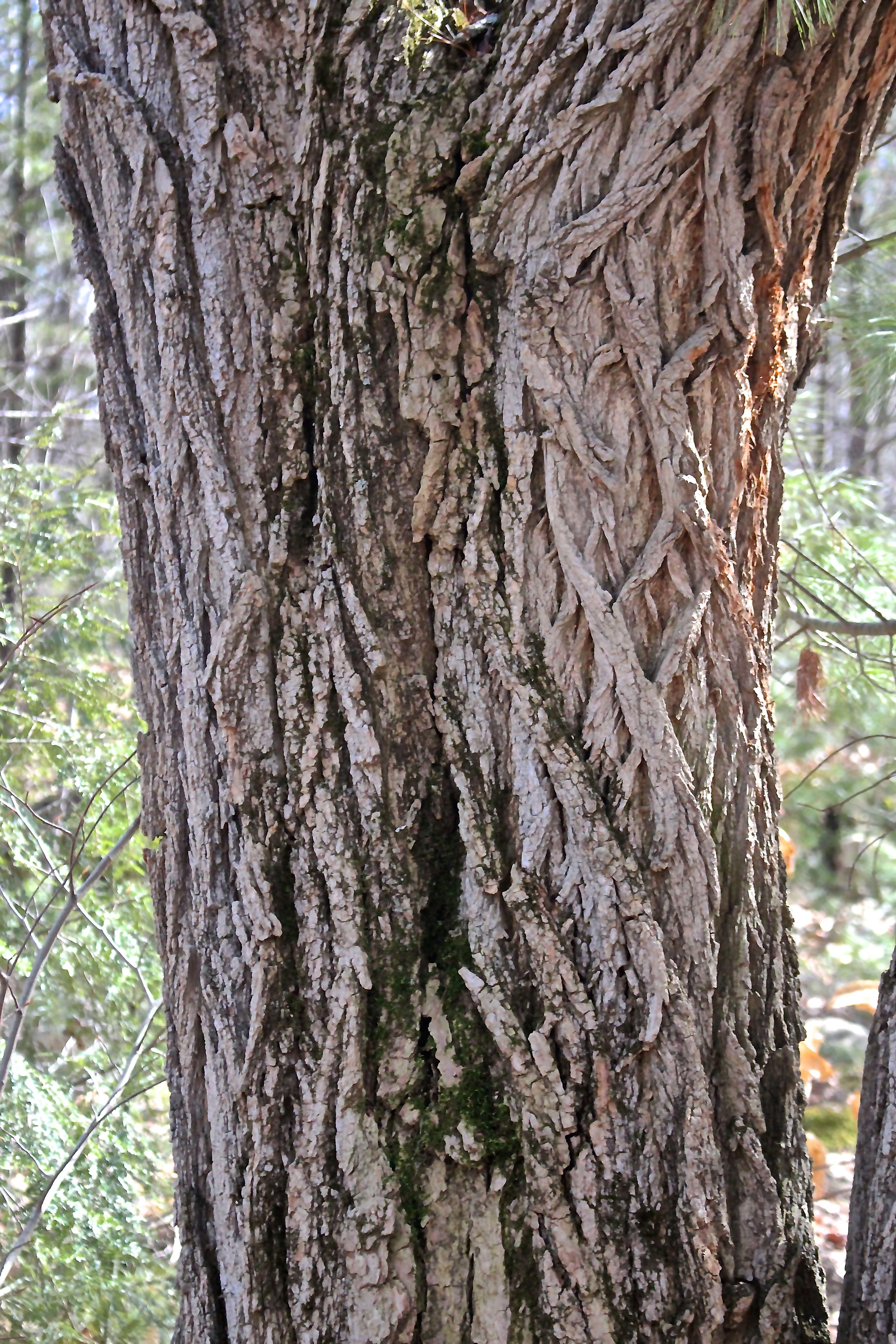 s-locust bark