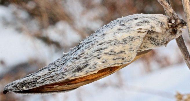 s-milkweed pod