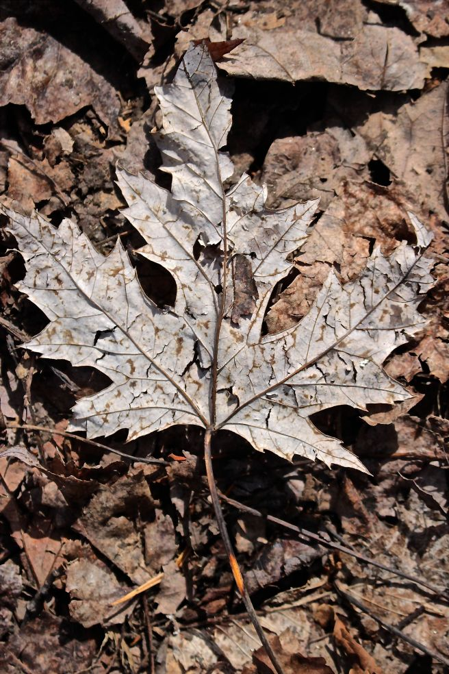 s-silver maple leaf