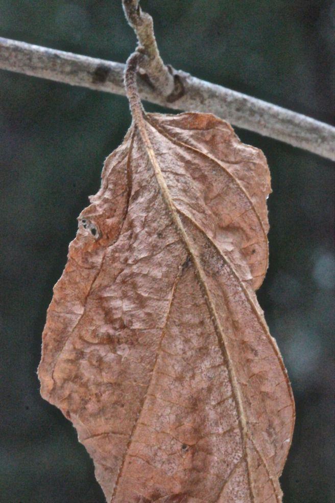 s-witch hazel leaf fuzzy