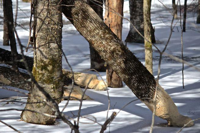 b-beaver trees