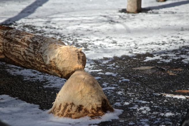 b-beaver works 4