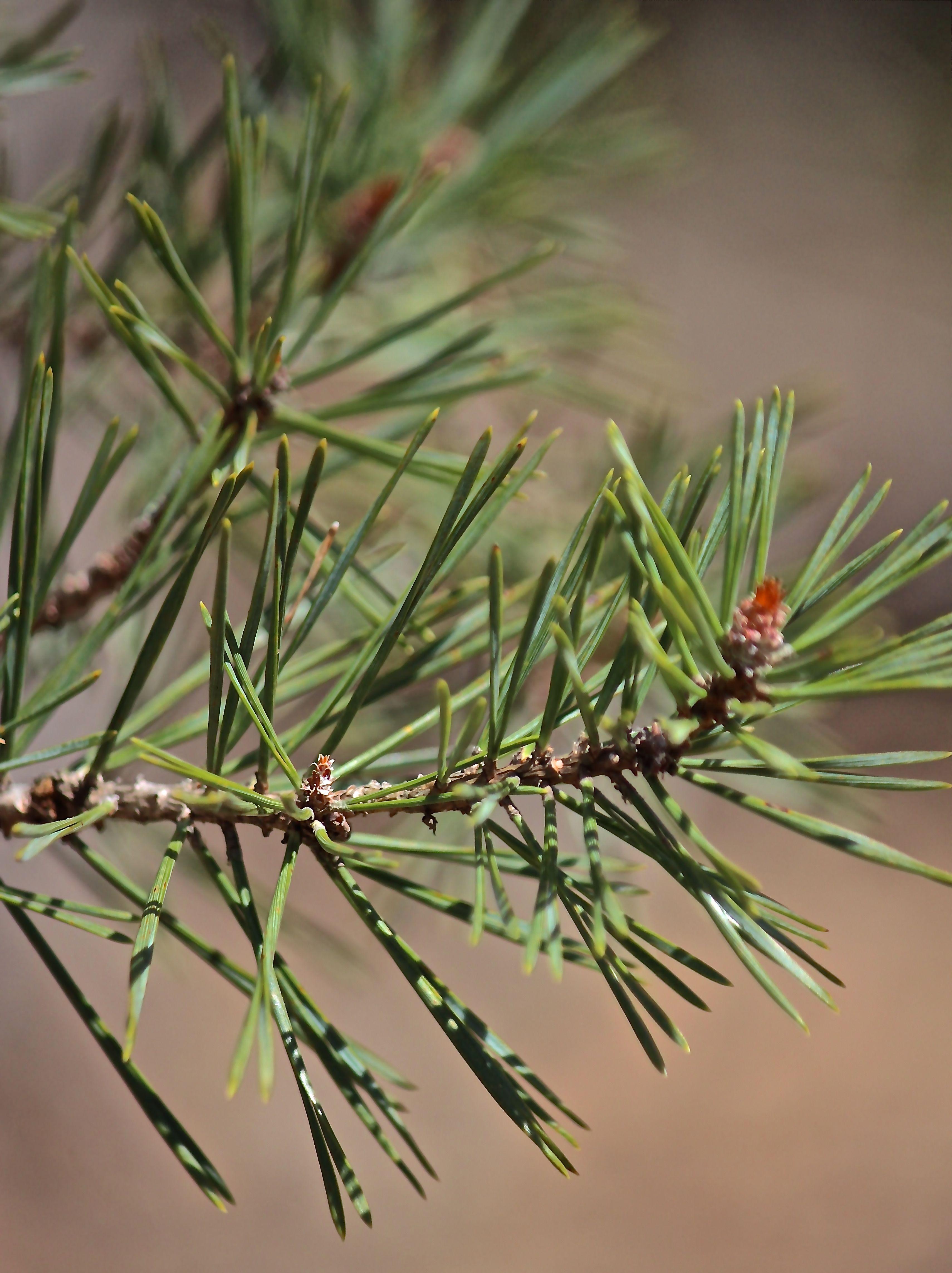 b-jack pine1