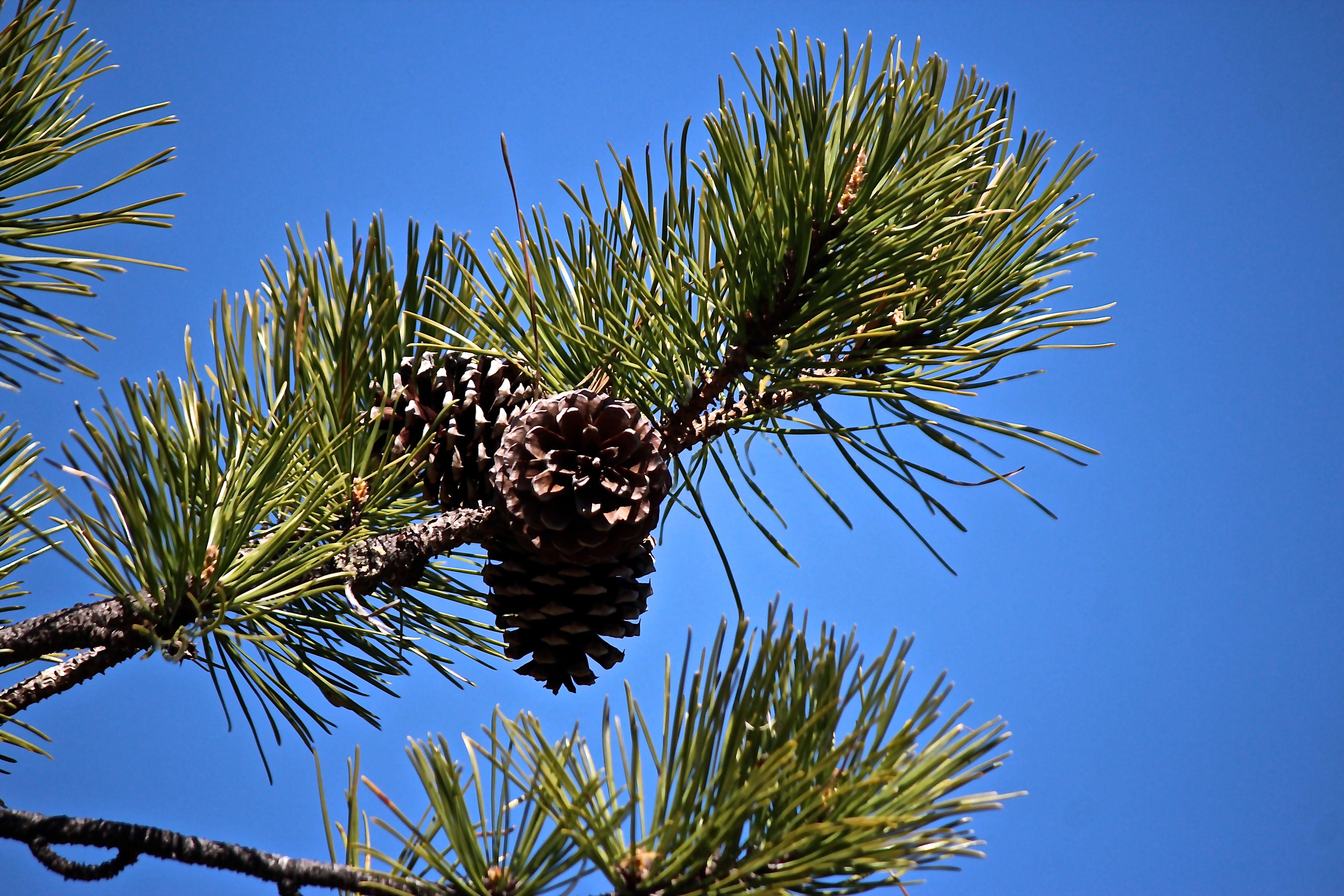 b-pitch pine