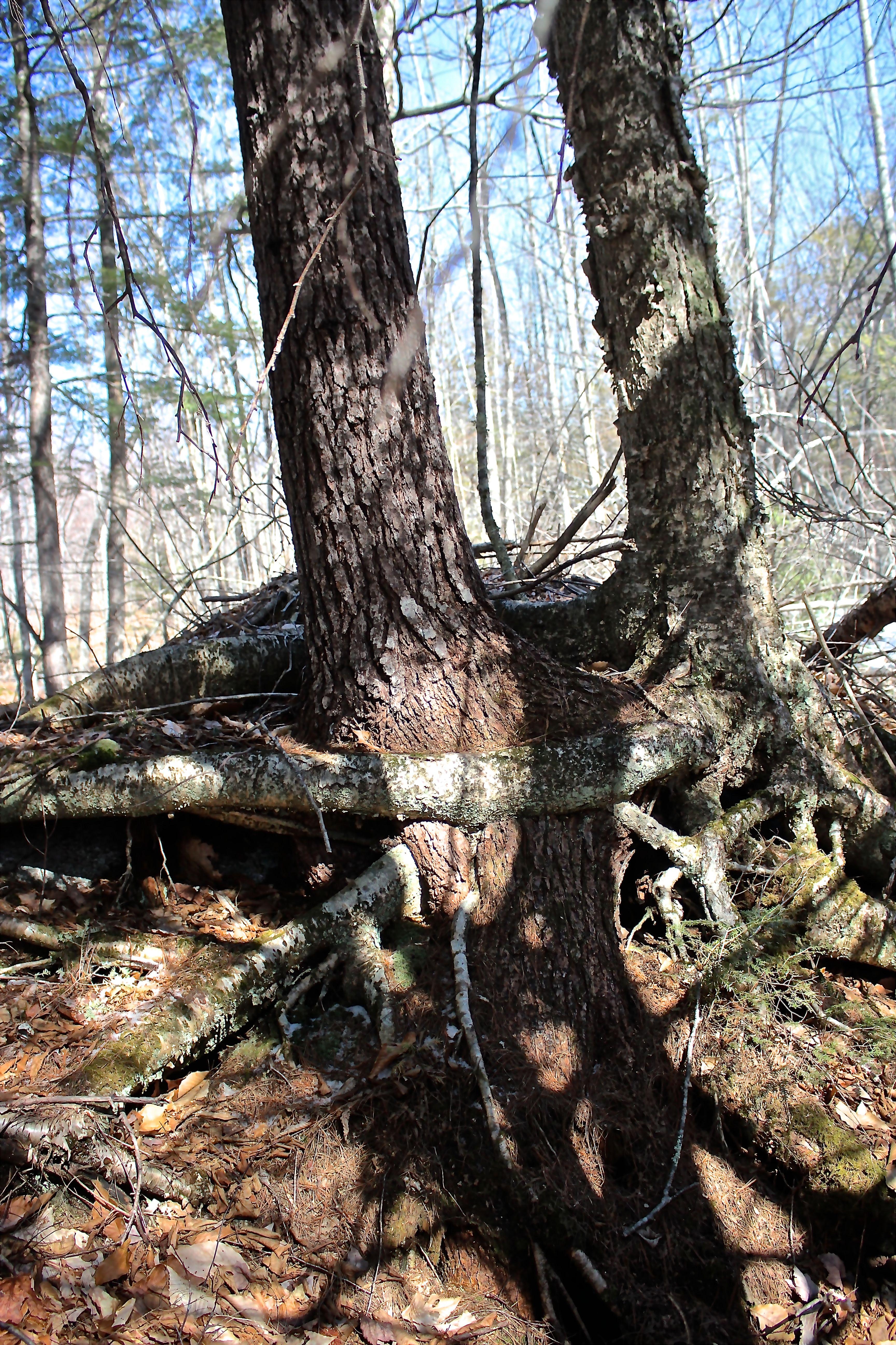 b-yellow birch, hemlock