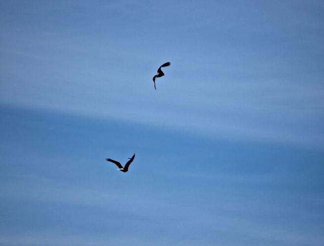c-bald eagles