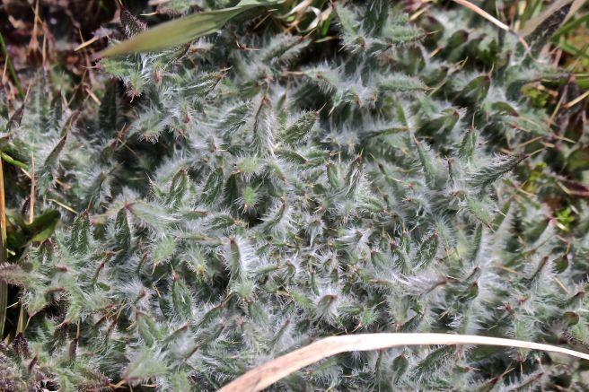 c-thistle leaves