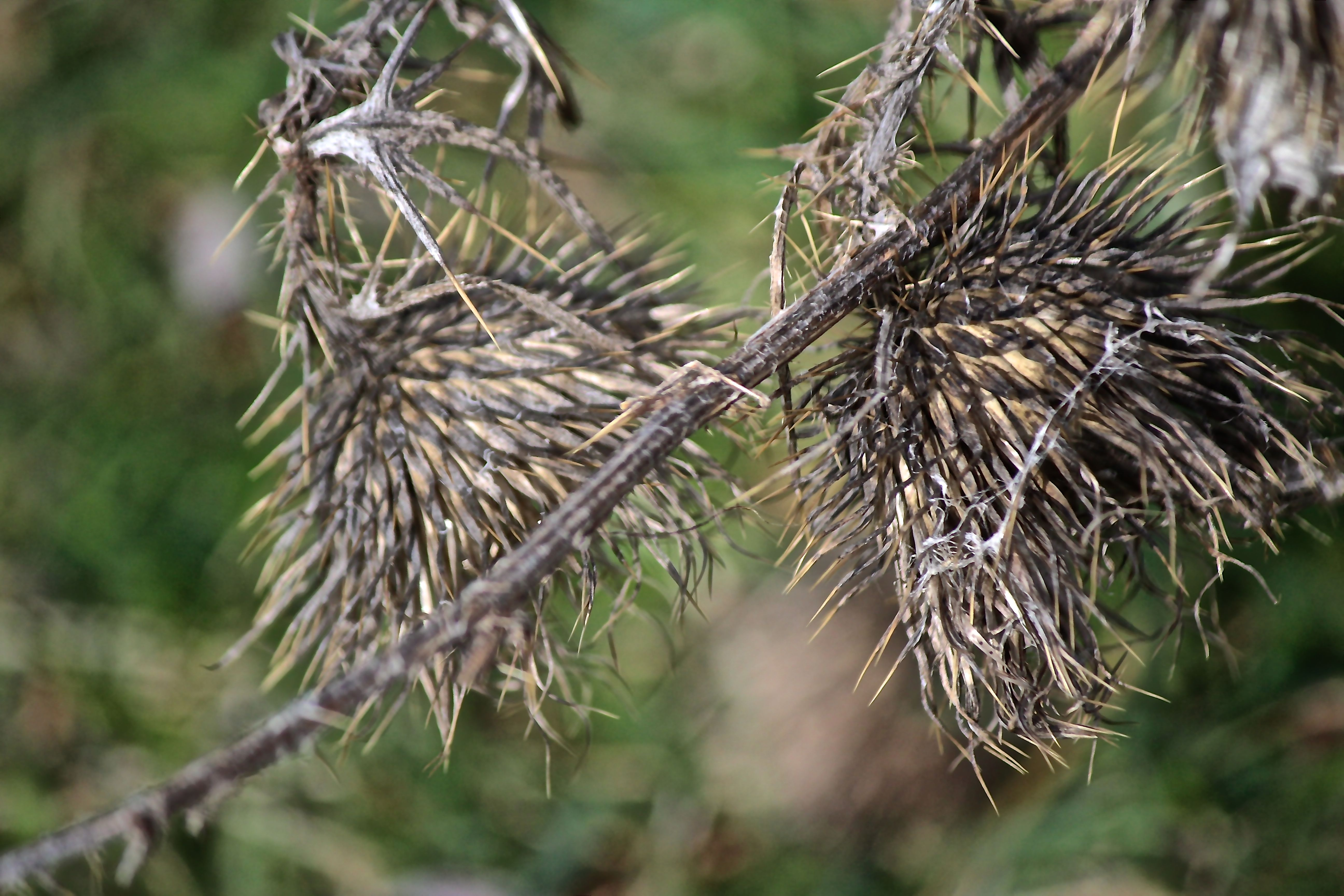 c-thistle weed