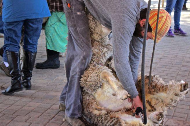 s-sheep shearing