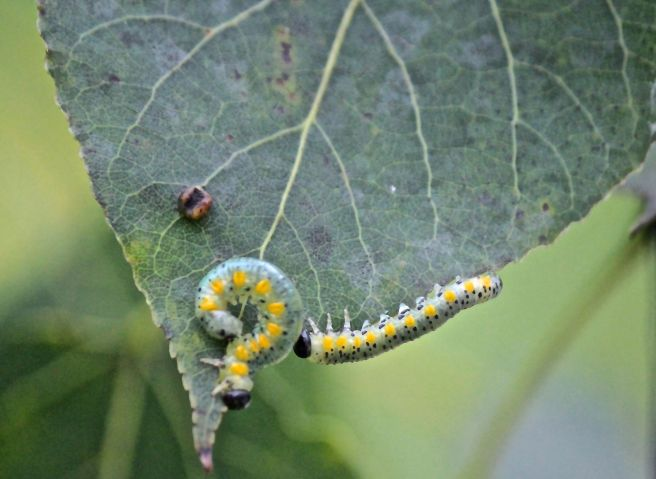 t-caterpillars