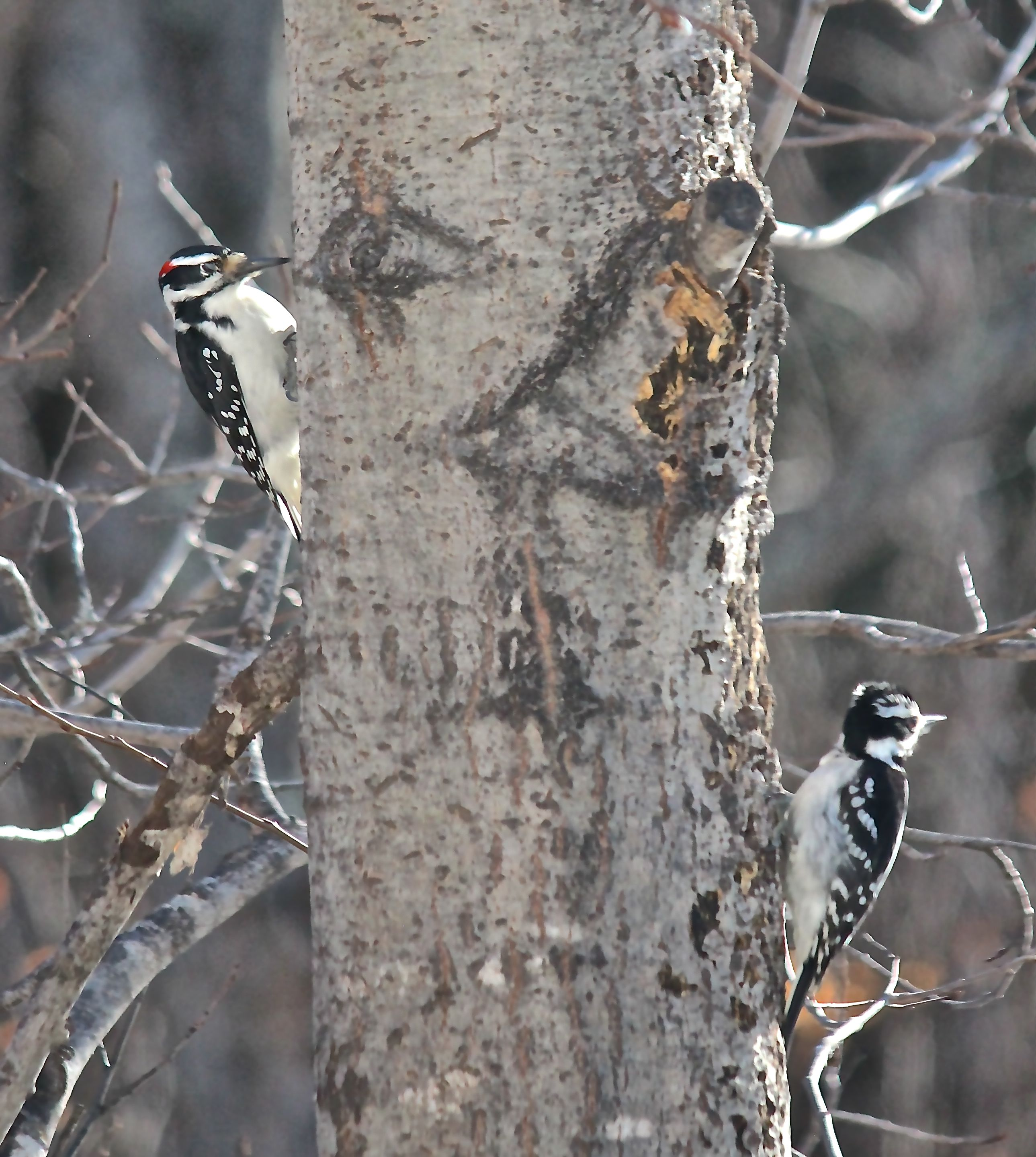 t-hairy woodpeckers