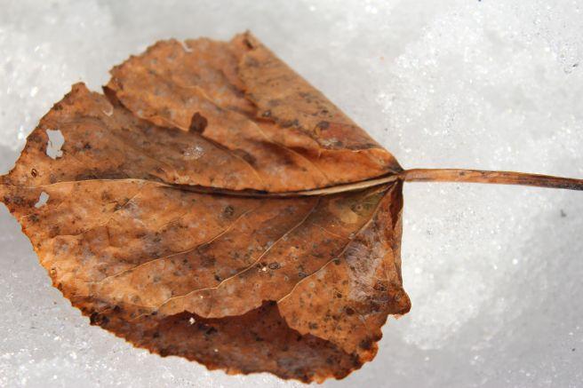t-leaf