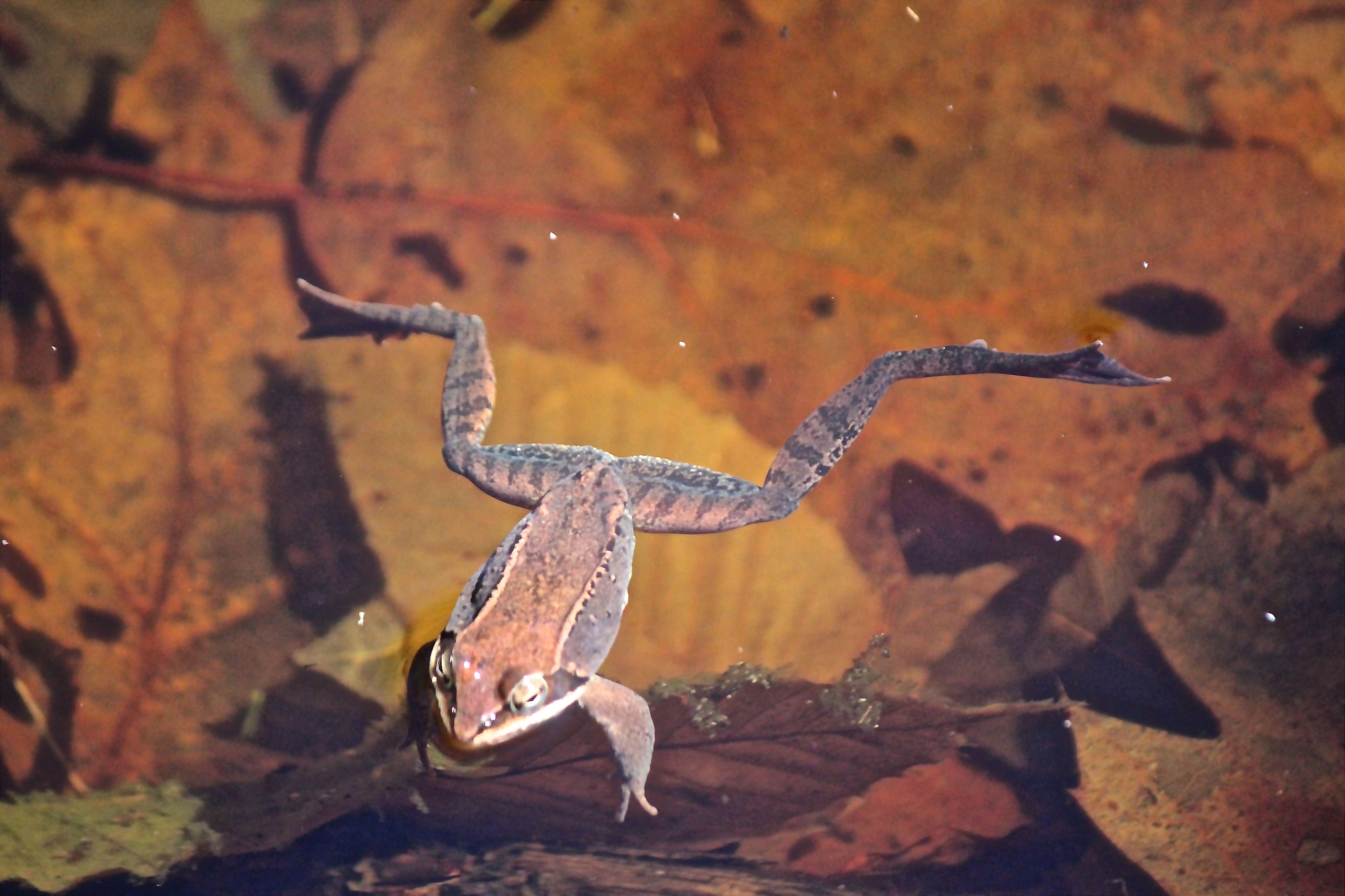 v-frog 1