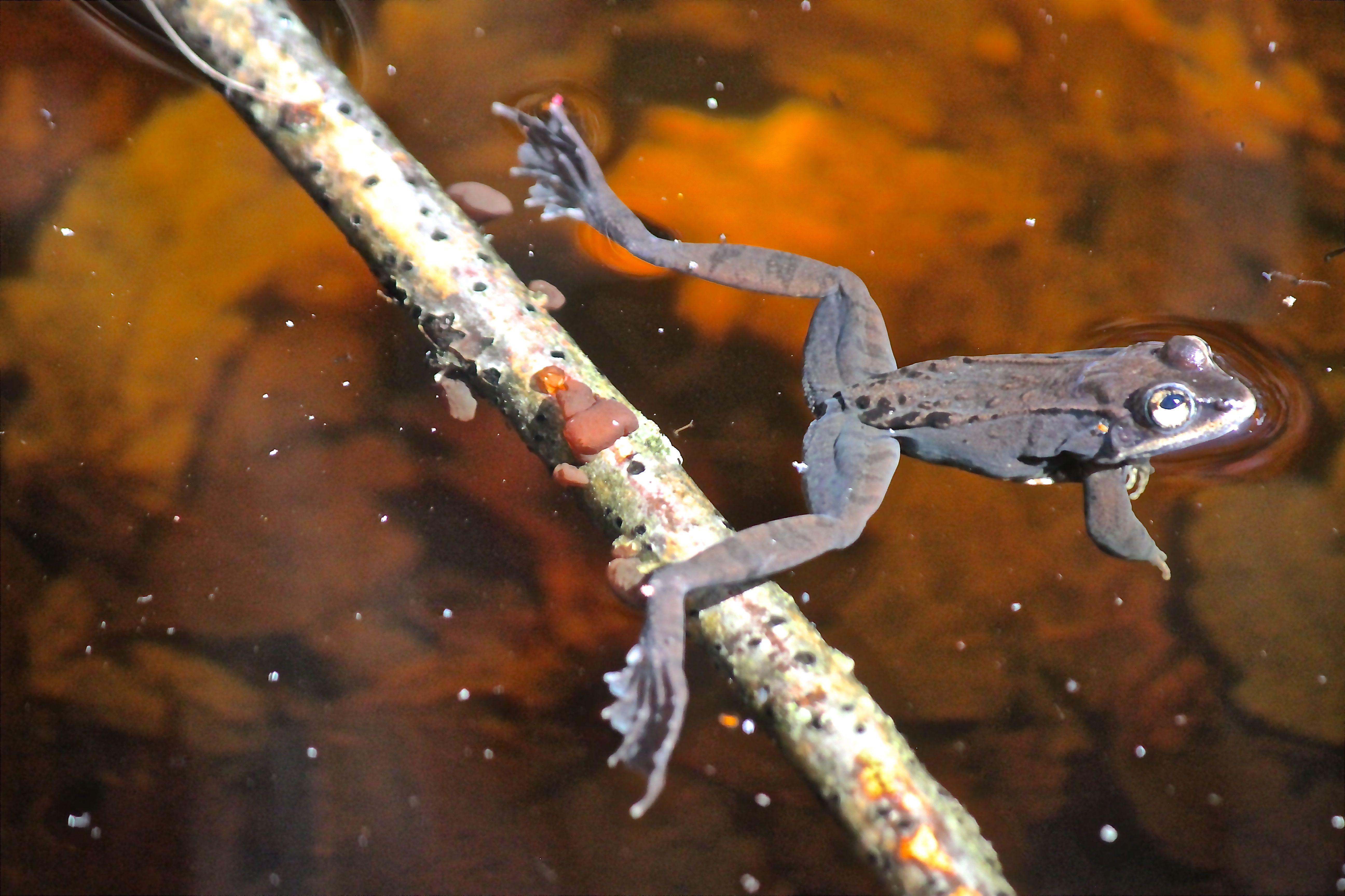 v-frog 4