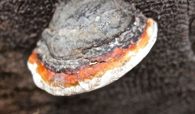 w-s-redbelted polypore
