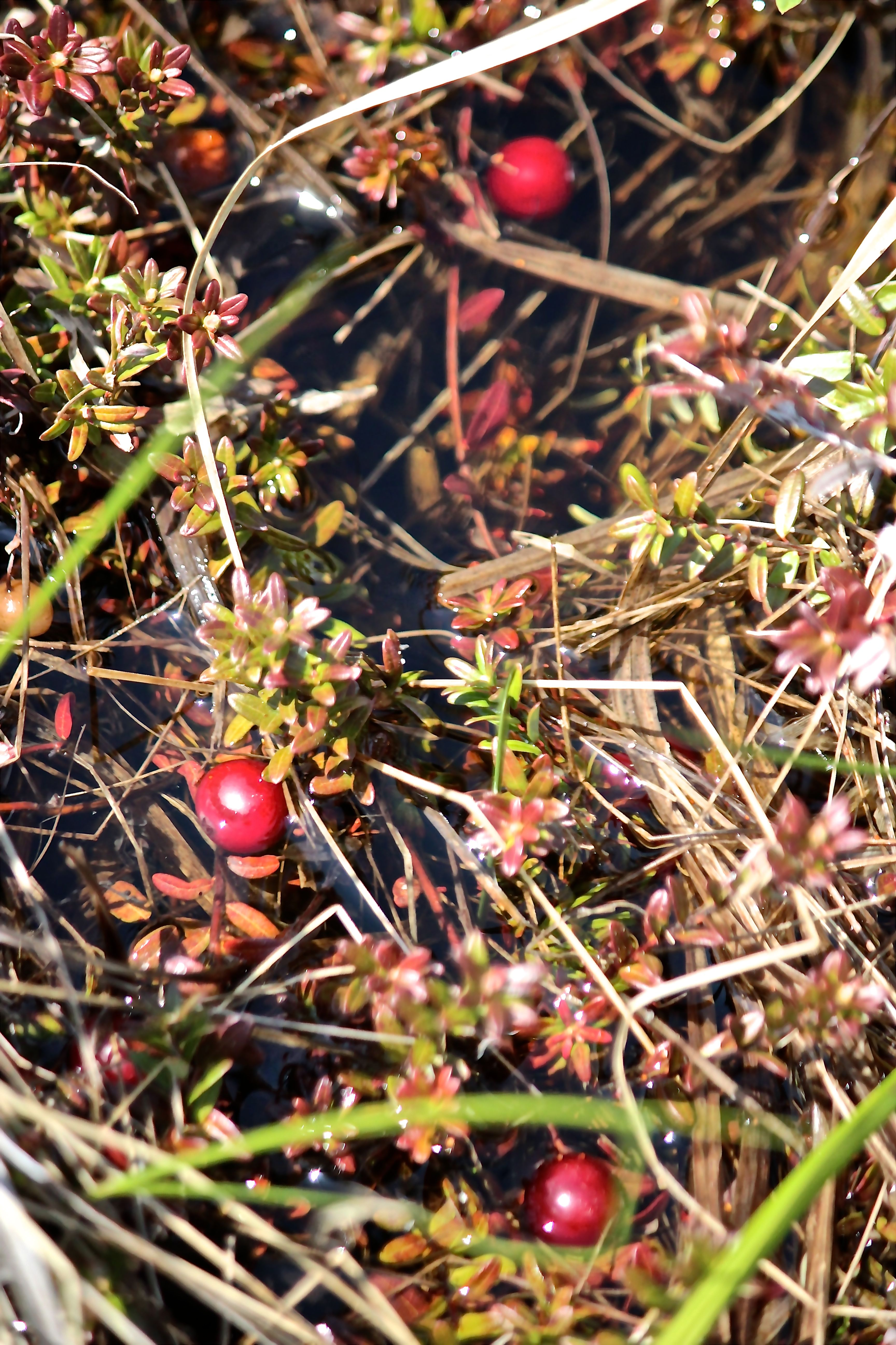 h-cranberries