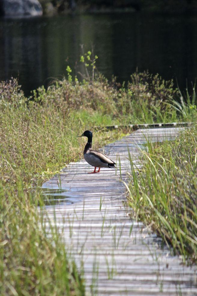 h-duck