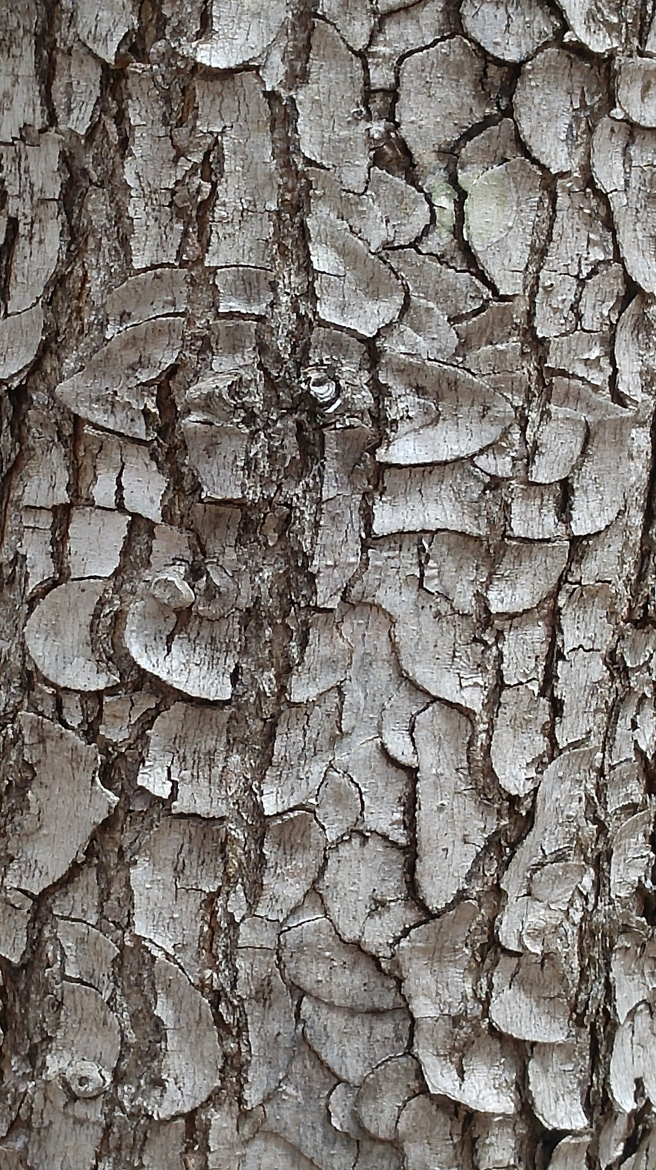 h-red maple bark