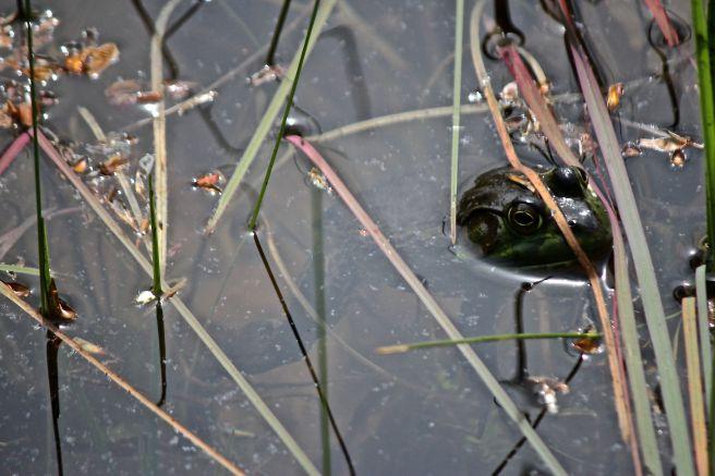 j-male green frog