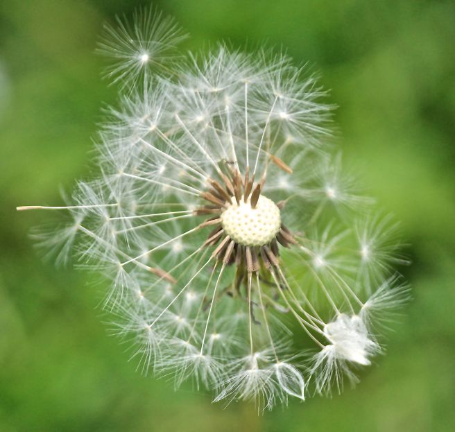 p-dandy seeds